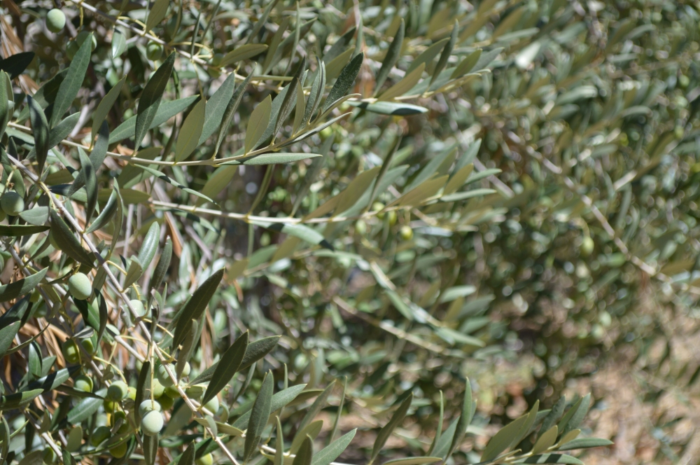 olives and cellar sept 2013 003.JPG